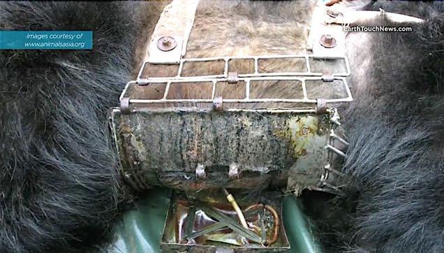 Inhumane bear bile industry