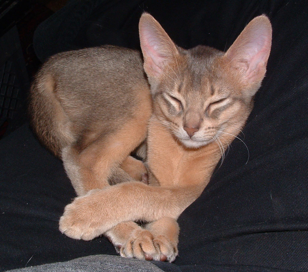 Cute Funny Animalz: Funny Abyssinian Cats New Pictures 2012