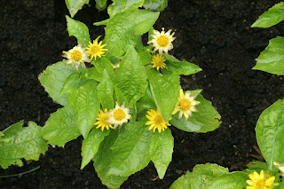 Mélampode divariqué - Melampodium divaricatum
