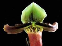 Botani Anggrek Paphiopedilum mastersianum