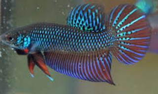 tu betta smaragdina mempunyai aneka macam julukan ibarat Mekong Fighting Fish Kabar Terbaru- CUPANG SPESIES BETTA SMARAGDINA