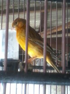 kali ini kita akan membahas wacana manfaat kroto untuk burung kenari ya para sahabat Manfaat Kroto Untuk Burung Kenari