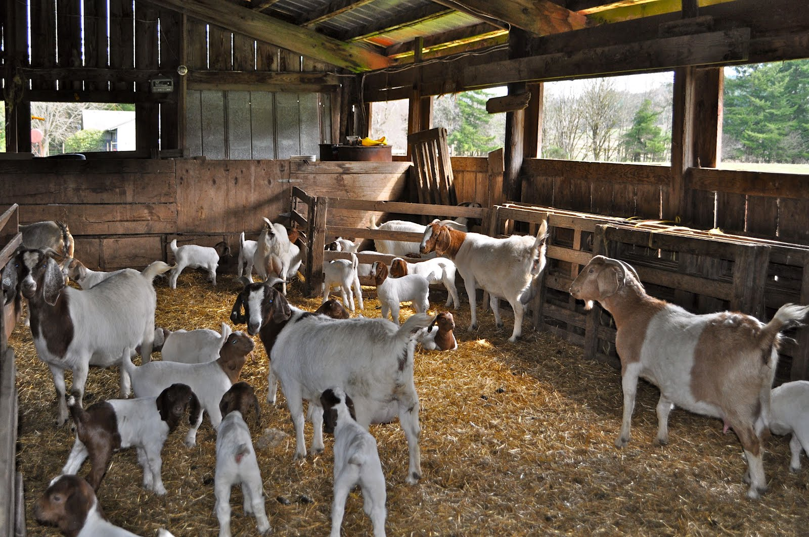 A Day At The Goat Barn