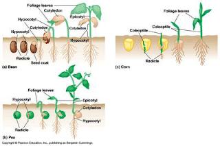 Laporan Praktikum Biologi / Pengaruh Oksigen terhadap Kecepatan Pertumbuhan Kacang Hijau (PDF)
