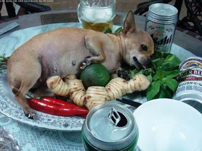 Lustiger Chiwawa Hund liegt auf Teller neben Bierdosen