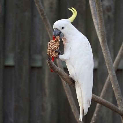 85+ Foto Gambar Burung Kakak Tua Jambul Putih  Terbaru