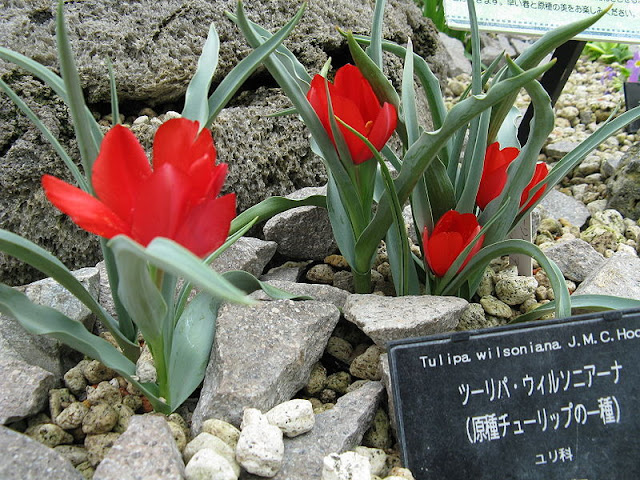 Tulipa Wilsoniana planted in a rocky border with fully opened red flower