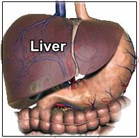 Fungsi Organ Tubuh Liver Pada Manusia