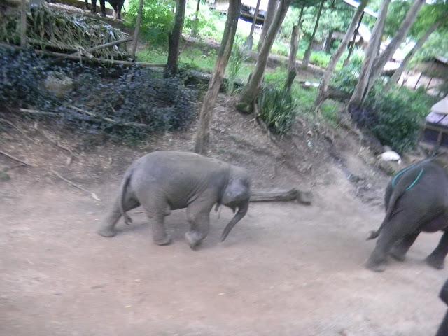Filhote de Elefante - Mae Taeng Elephant Park - Parque de Elefantes na Tailândia