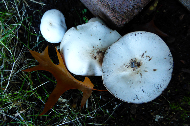 mushrooms, dirt, oregon, garden