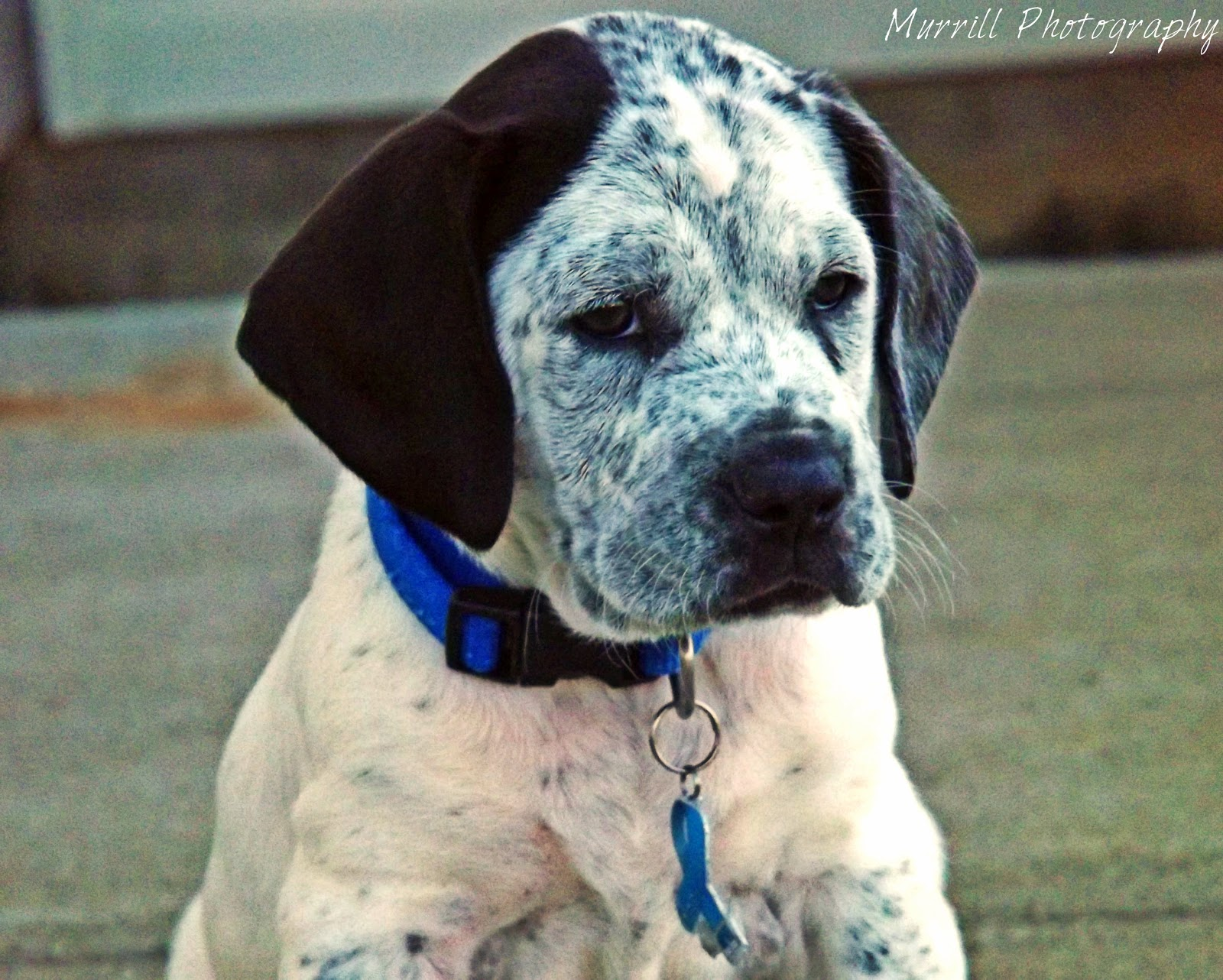 PitbullHound Dog Mix