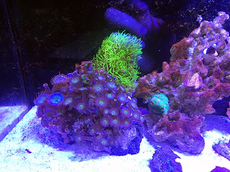 home depot xenia with Species Specific Clownfish Bubble Tip Anemone Aquarium on Marie Webster House as well Ha3836 Lockheed F 16d Fighting Falcon Haf 340 Mira 601 Souda Ab Crete 2009 likewise Dance Academy De Film also Milana Vayntrub together with Aksesoris Veloz Mobil Bekas Harga Murah.