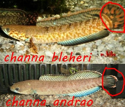 Mahamaya Hiko Channa Andrao Profil Dan Cara Pemeliharaan Sp Lal Cheng Sp Assam Blue Bleheri Channa Andrao Part 1