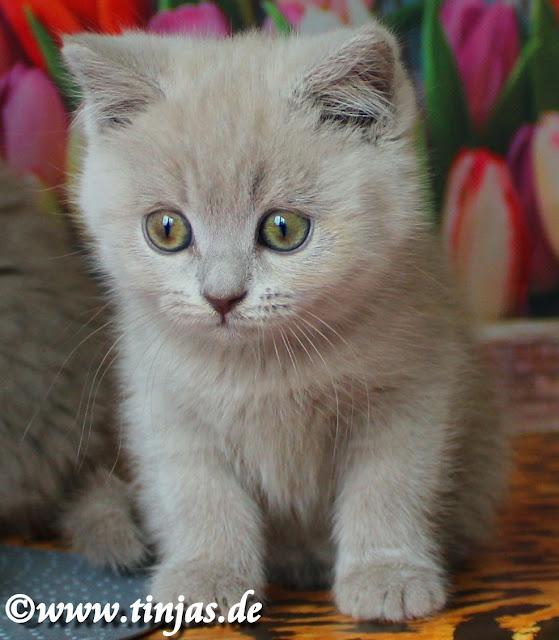 Britisch Kurzhaar Kitten lilac tinjas Katzenzucht 2017 05 10 3