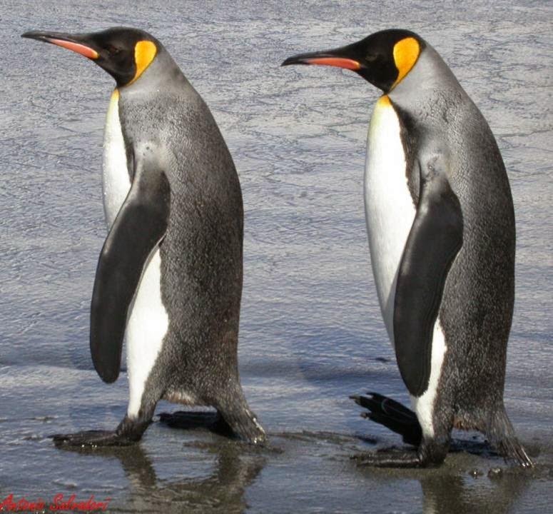 pinguino rey Aptenodytes patagonica