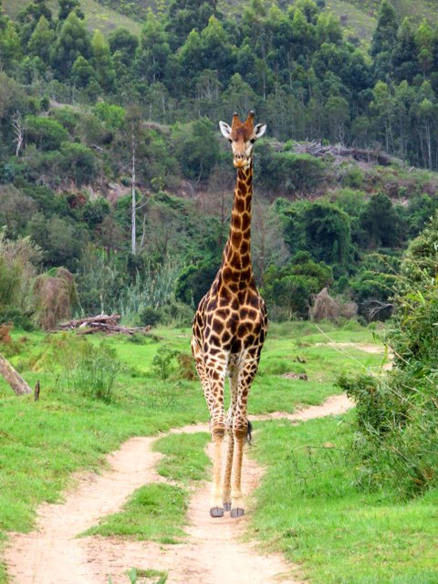 Giraffe at Botlierskop