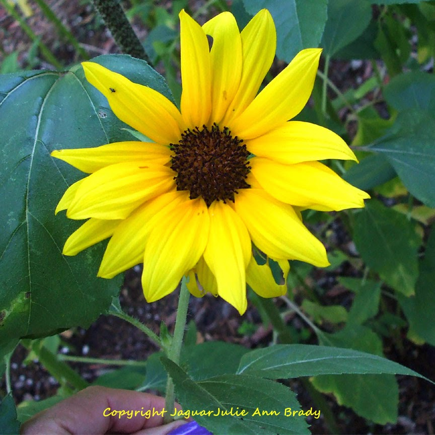 Pretty Yellow Sunflower Blossom