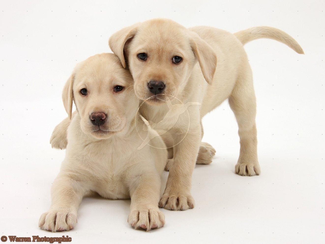 Cute Puppy Dogs Labrador Retriever Puppies
