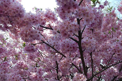 Pink cherry blossom tree at Shinjuku Gyoen Japan