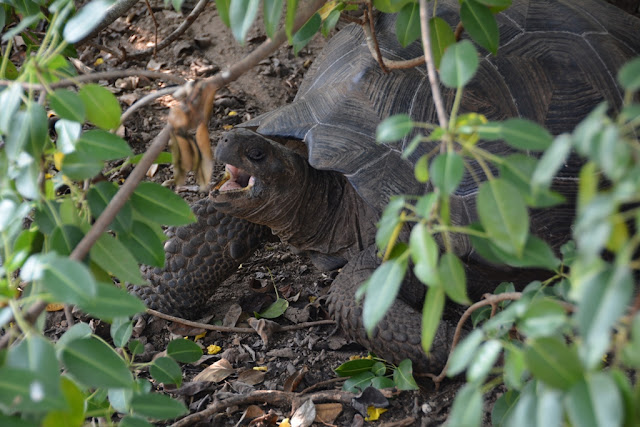 Urbina Bay Galapagos tortoise