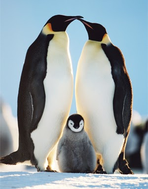 Cute Couple Kisses Wallpaper Informatica Emperor Penguin