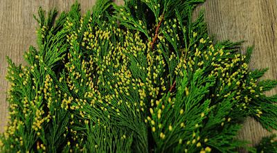 Yellow Bloom on Incense Cedar