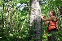 University of Vermont forest ecologist Ali Kosiba takes the measure of a red spruce. Her new research made a surprising discovery: red spruce is recovering, after decades of decline. (Credit: Alexandra Kosiba) Click to Enlarge.