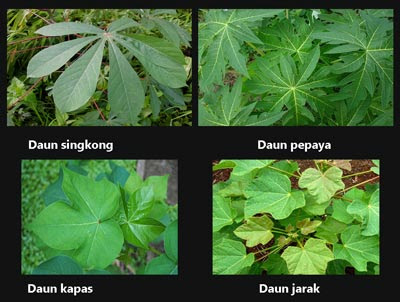 Contoh Tulang daun menjari