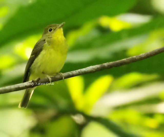 langkawi bird watching tour
