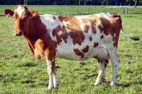 bangsa sapi perah yang dapat menghasilkan susu yang banyak dan ciri-ciri sapi penghasil susu