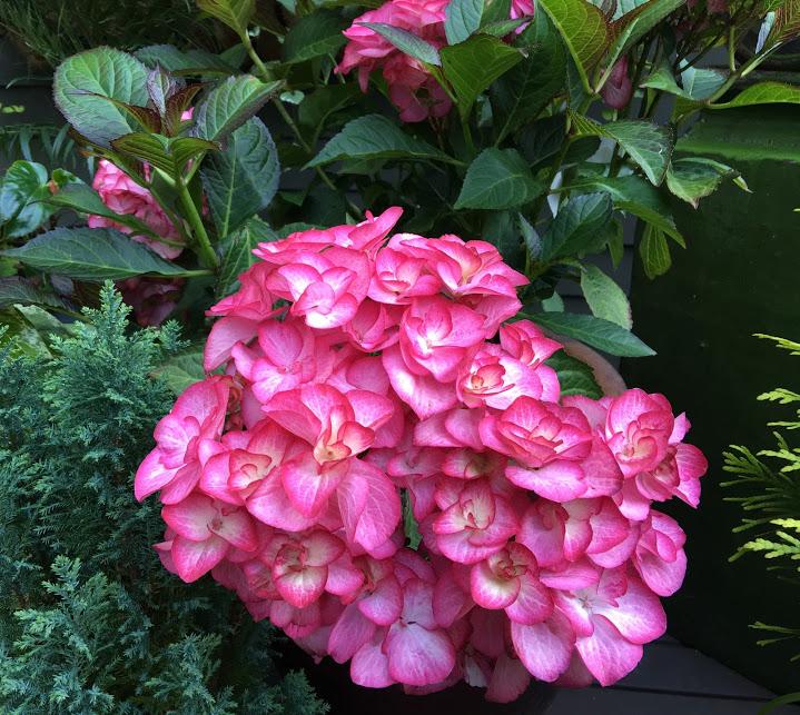 Shoreline Area News In The Garden Now Firefly Hydrangea