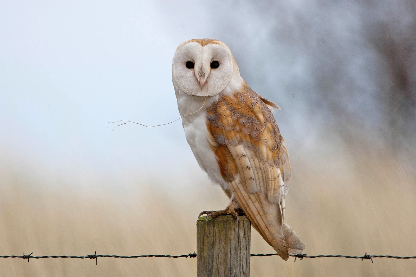 I think this Barn Owl had just finished a meal, and hadn't ...