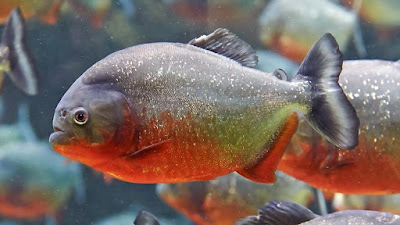 The red-bellied piranha,