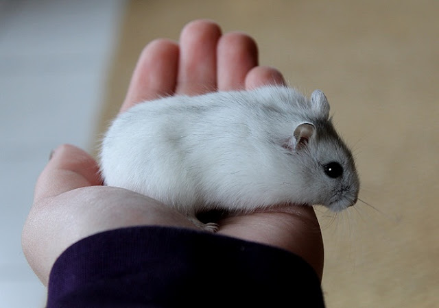 Hamster Robo – Thiên thần chuột cảnh         dễ thương