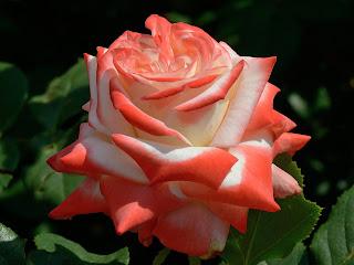 Imperatrice Farah роза сорт фото купить саженцы Минск