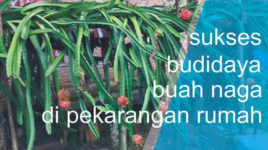 Coba Geh sukses budidaya buah naga sederhana berbuah lebat di pekarangan rumah