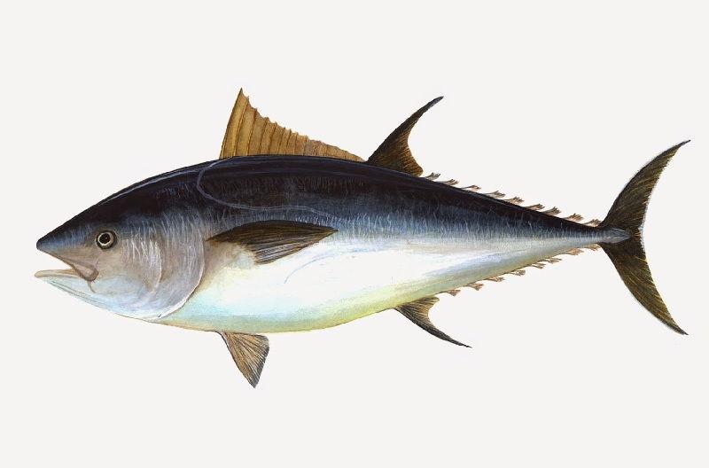 Gambar Ikan Laut Tuna