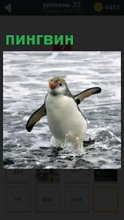 Из воды выскакивает во весь свой рост пингвин и машет ластами