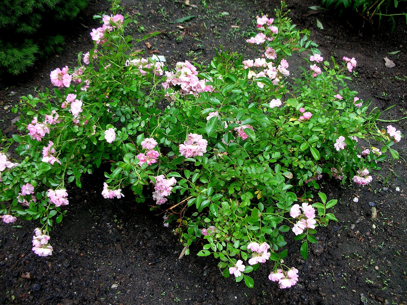 Roses In Garden: Growing Roses From Cuttings