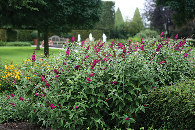 Buddleia 'Miss Ruby' from Proven Winners Shrubs