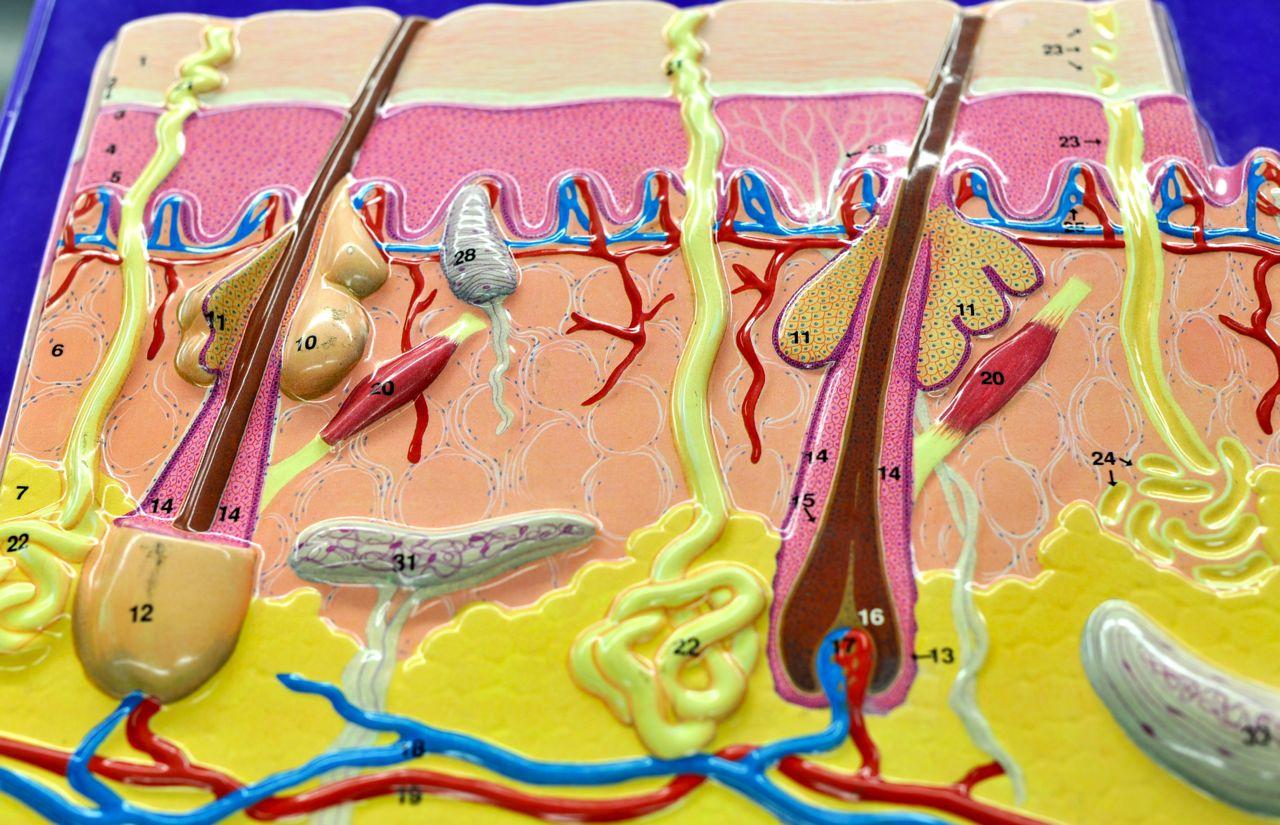 Human Anatomy Lab The Skin