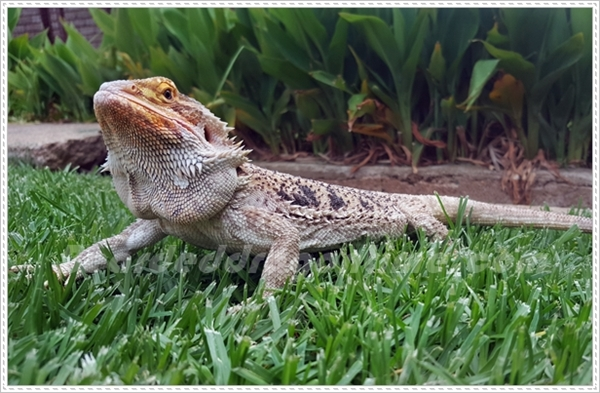 bearded dragon outside