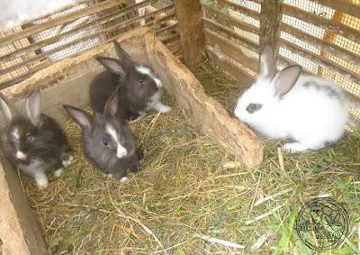 FOTO : Anak kelinci berumur 8 minggu