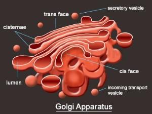 Badan Golgi sanggup disebut dengan Aparatus Golgi Pengertian Badan Golgi, Struktur, dan Fungsi Badan Golgi, Lengkap!