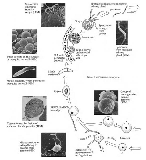 Fase seksual plasmodium