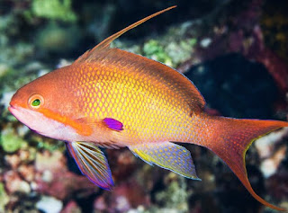 Jenis Ikan Hias Air Laut Lyretail Anthias