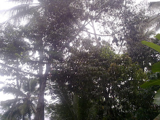 Lebatkan Buah Durian Dengan Penyerbukan Buatan