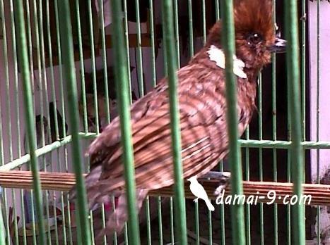 Kenapa Burung Cililin Mahal Hobi Si Petani