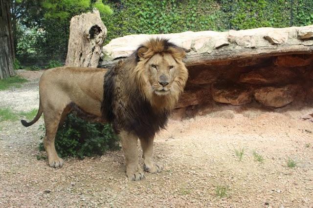 bambini e leoni