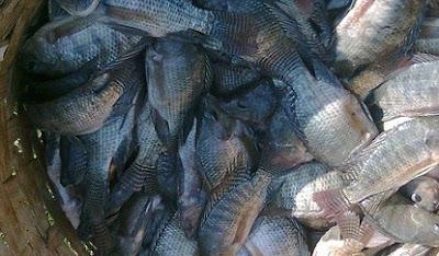 makanan ikan mujair biar cepat besar,cara budidaya ikan mujair di kolam tembok,budidaya ikan mujair di rumah,cara pembesaran ikan mujair,